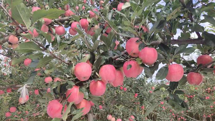 叶面肥-苹果