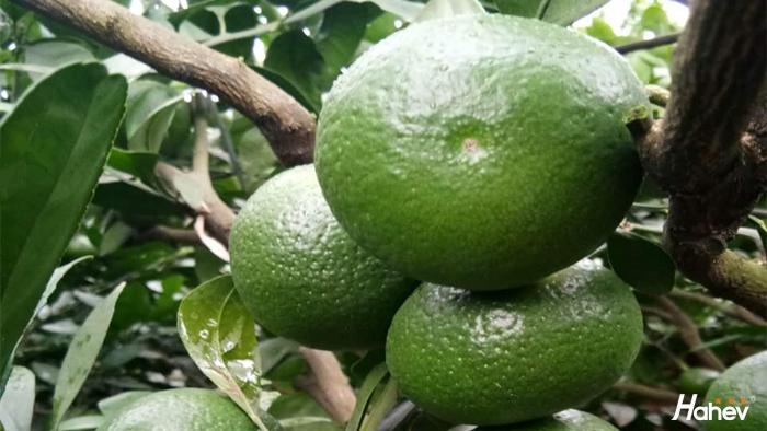柑橘膨果肥如何施?
