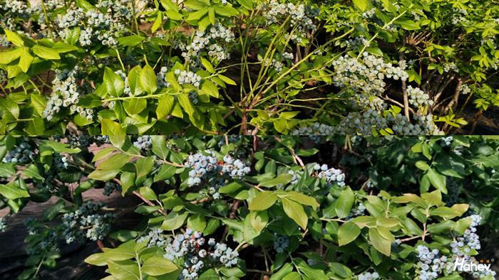 海餐沃水溶肥-蓝莓高产高质的不二选择