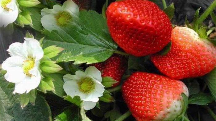 草莓定植施什么肥料好