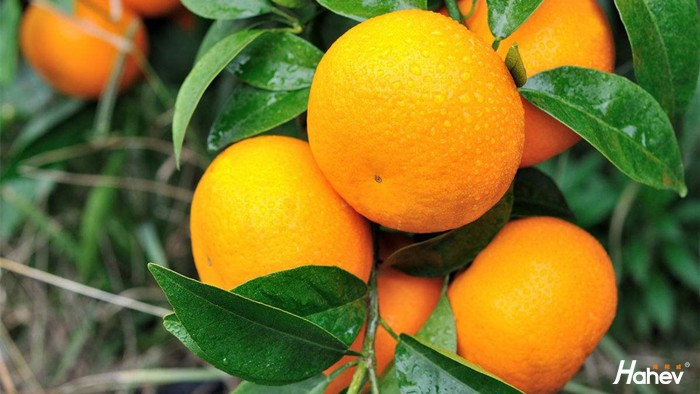 微生物菌剂怎么选?怎样使用能让柑橘品质更高?
