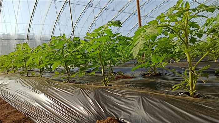 番茄 海餐沃 微生物菌剂