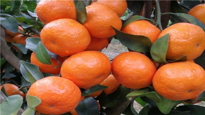 水溶肥 砂糖橘 海餐沃