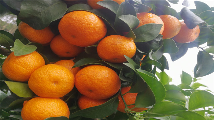 砂糖橘 海餐沃 水溶肥