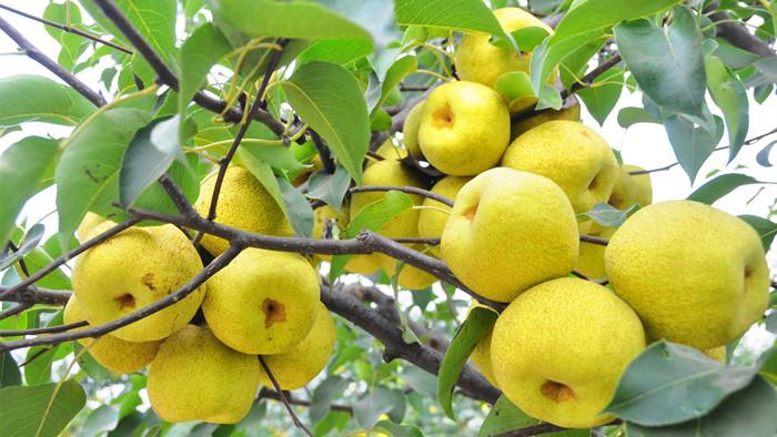 梨树施什么肥好