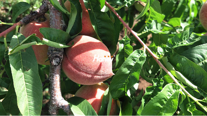 桃树膨果期施什么肥?-桃树-缩