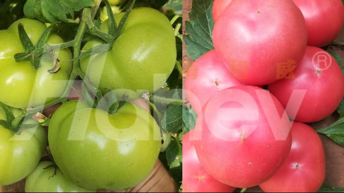 水溶肥厂家-番茄