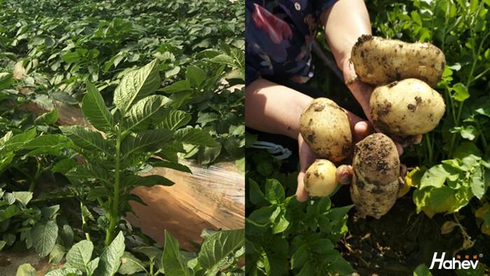 土豆用什么肥料高产?来看真实案例