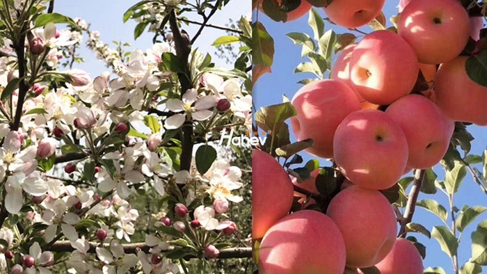 苹果春季怎么管理?重点全在这了