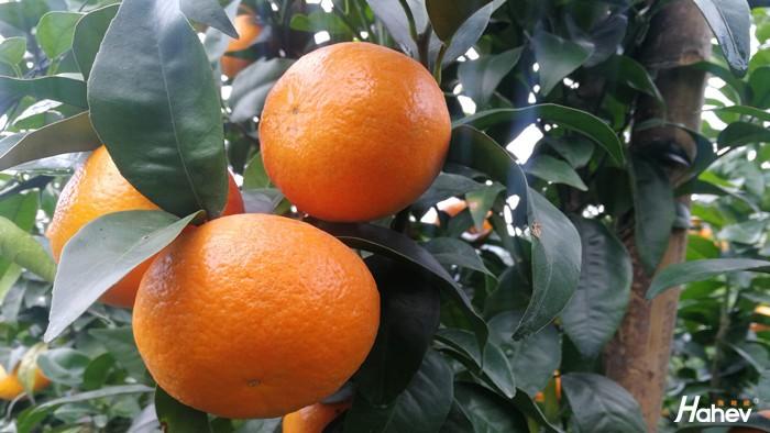 海餐沃水溶肥-沙糖橘