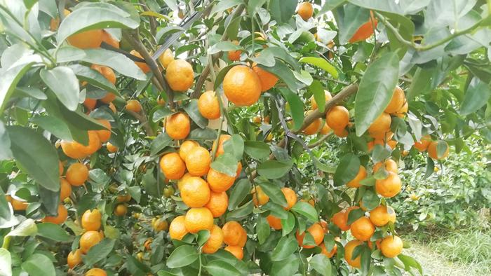 柑橘用什么肥好?