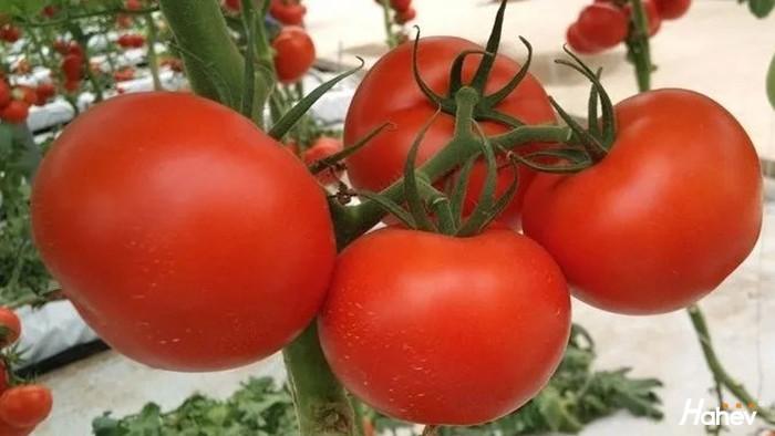 西红柿用什么肥料,提质增产