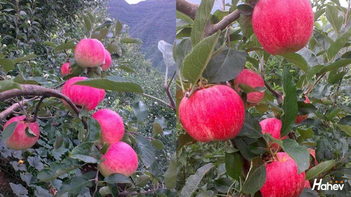 秋季苹果施什么肥?