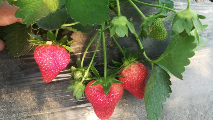 草莓底肥用什么好