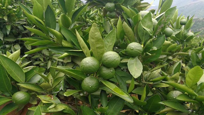 硼肥-柑橘