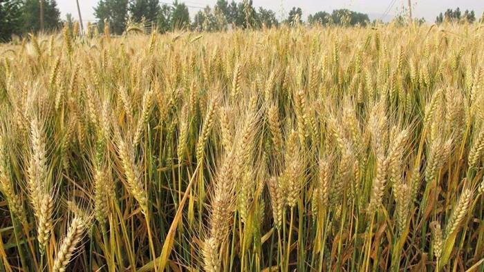 磷酸二氢钾在小麦上效果如何?听孟大哥怎么说
