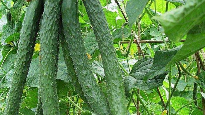 黄瓜如何使用微生物菌剂