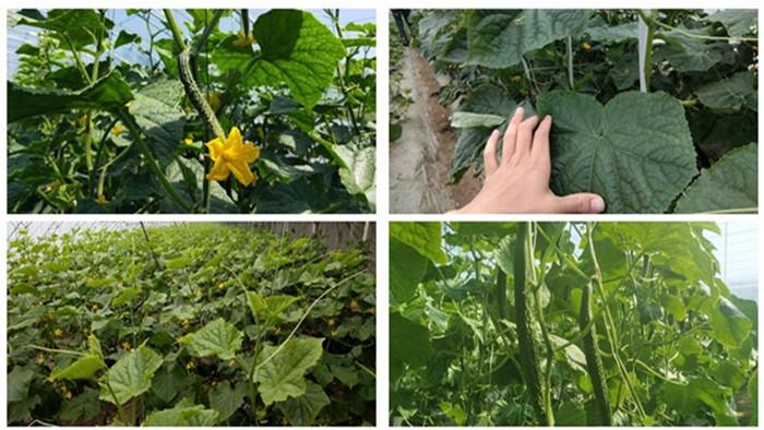 黄瓜种植用什么肥料