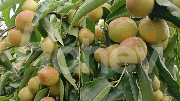 枣树用什么肥料又大又甜