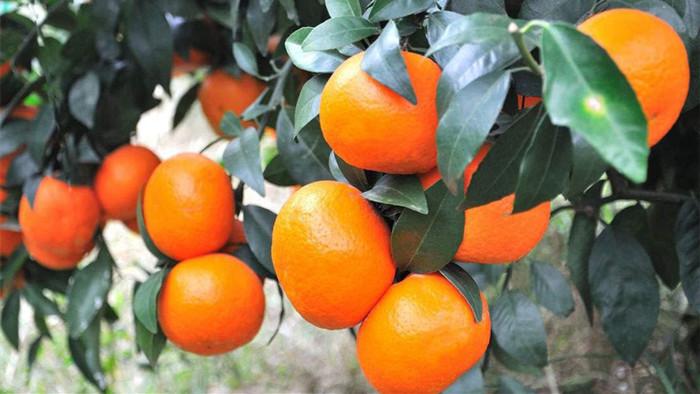 钙肥在果树上的作用