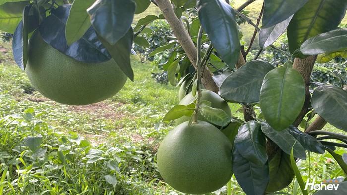 柚子用什么肥料好