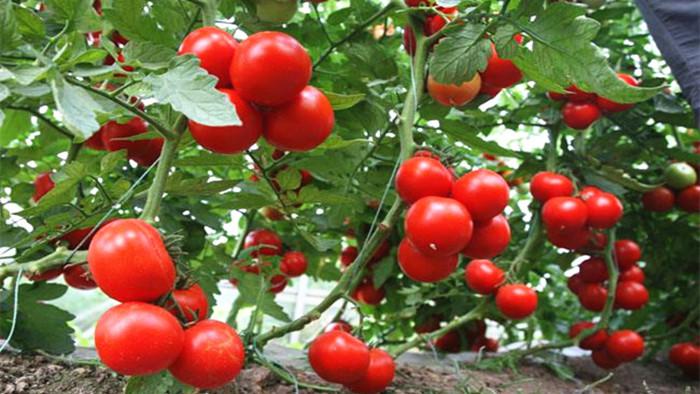 种西红柿需要什么肥料好?王大哥推荐海餐沃