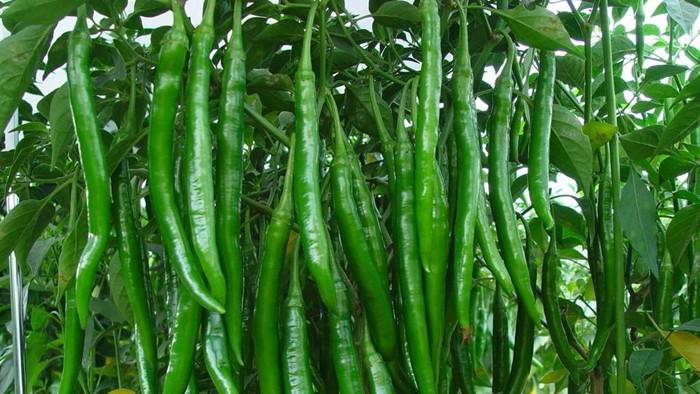 种辣椒施什么肥料好?
