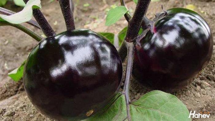 茄子用什么肥料产量高,根系好?
