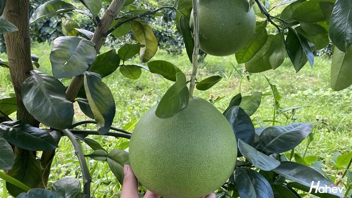 果树肥料哪个好