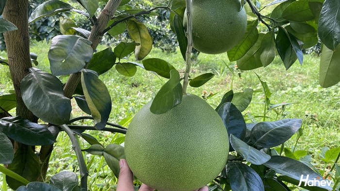 果树肥料哪个好?柚子用肥反馈来啦