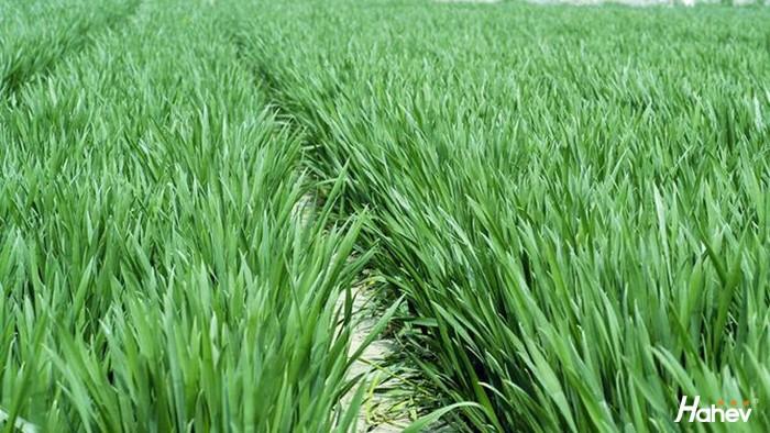 小麦返青用什么肥料好?