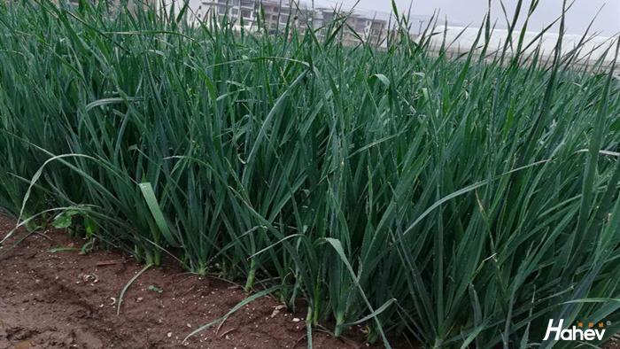 大蒜用什么肥料好?