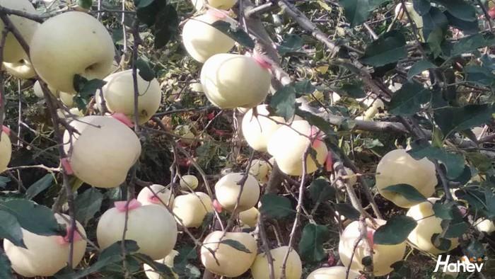 山东薛大叔反馈,苹果树用什么肥料好
