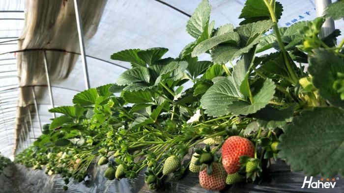 草莓用什么肥料长得快,田老板给你支招