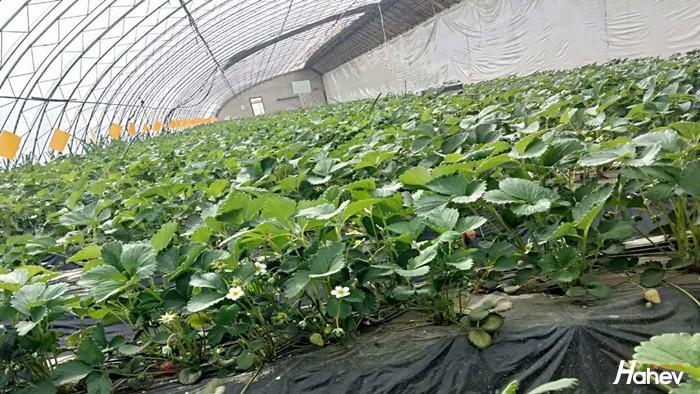 草莓苗用什么肥料好?