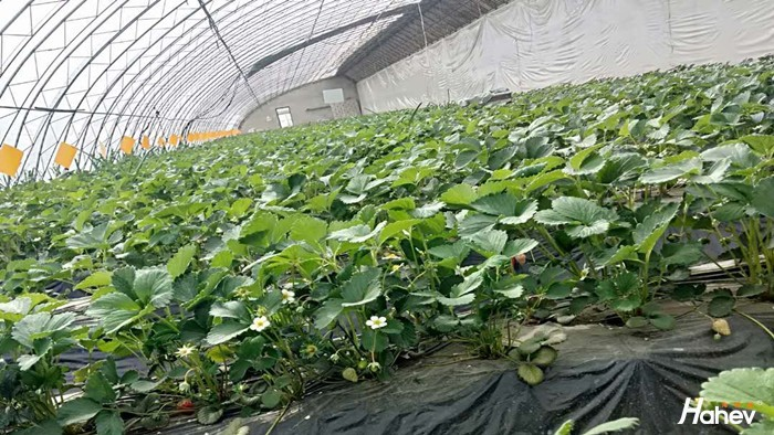 草莓苗用什么肥料好