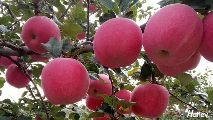 正规水溶肥厂家-苹果