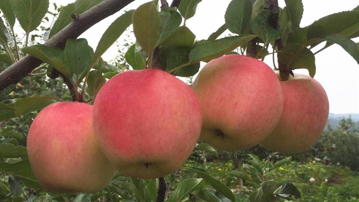 秋季苹果施什么肥好