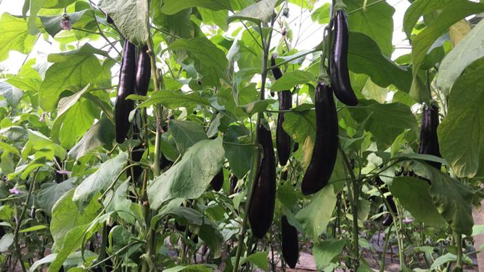 生根剂价格-生根剂在茄子上的作用效果