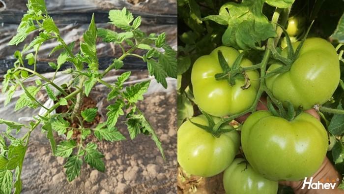 种番茄用什么肥料好,许老板说这个品牌好
