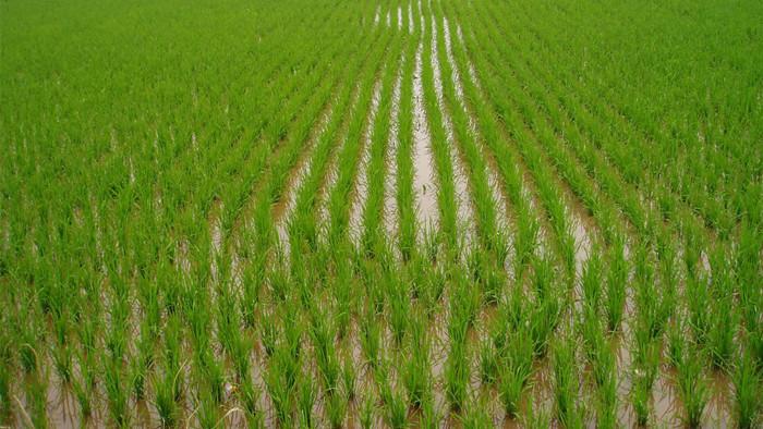 进口锌肥-水稻