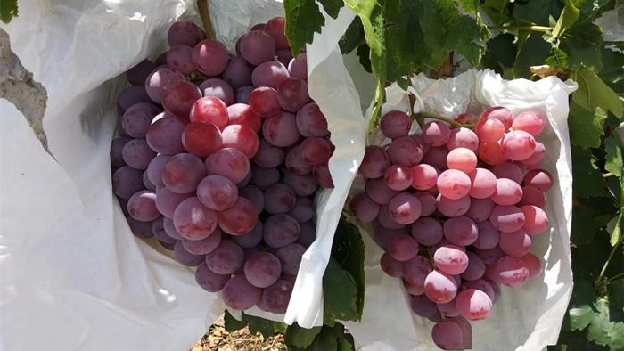 磷酸二氢钾-葡萄