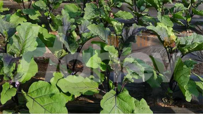 微生物菌肥厂家-茄子