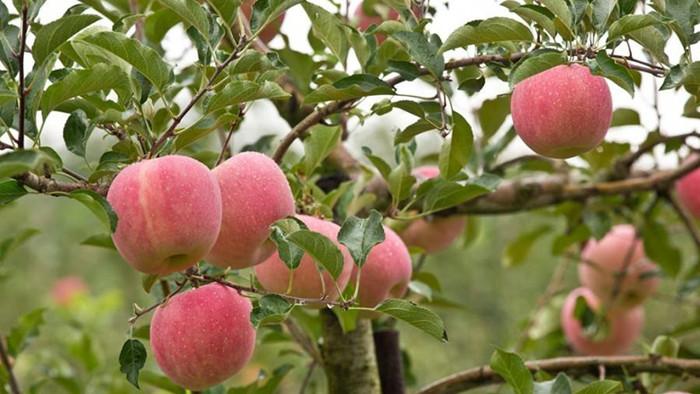 苹果膨果施什么肥好