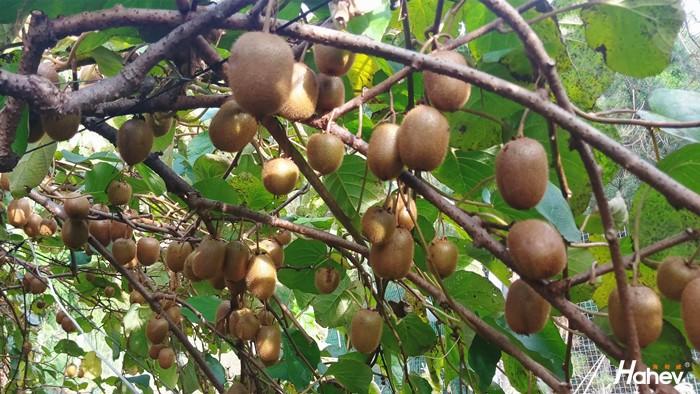 猕猴桃用什么肥料好?李大哥告诉你