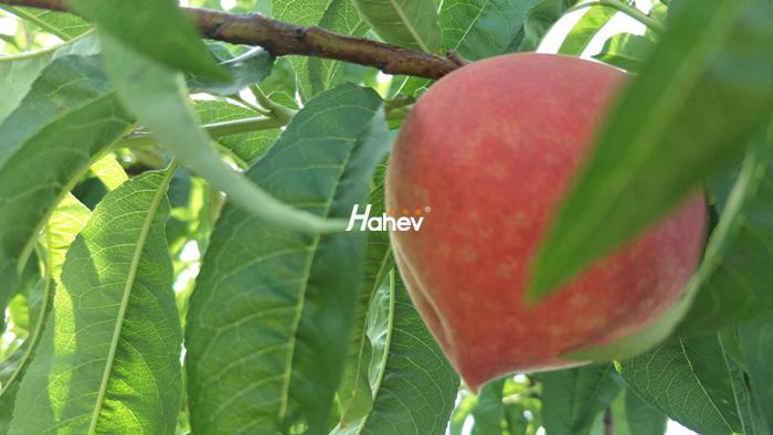 桃树膨大期施什么肥?-缩