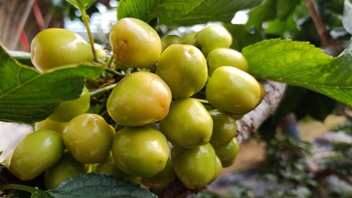 大量元素水溶肥-樱桃