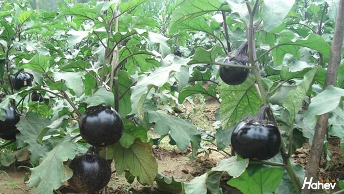种茄子用什么肥料好