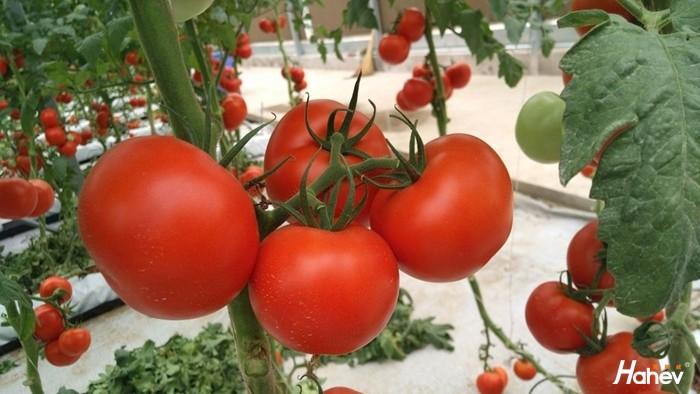 种番茄用什么肥料好?孟总告诉你